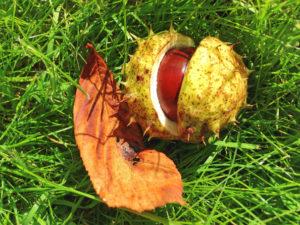 Kastanien: Kindliche Freude im Herbst